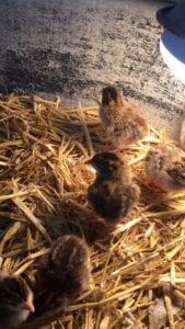 Guinea Fowl - Keets